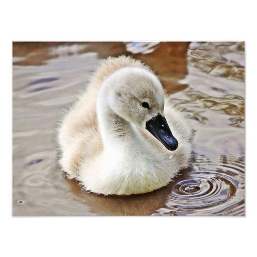 Descenso del agua del pollo del cisne impresiones fotográficas