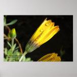 Descensos de rocío en una margarita amarilla - imp poster