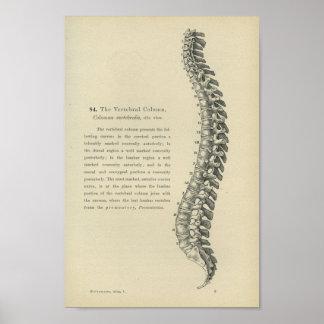 Descripción de la columna vertebral poster