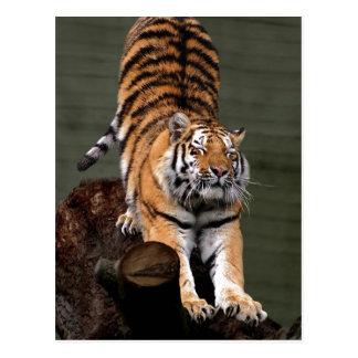 Description Panthera tigris altaica , Aalborg Zoo, Post Cards