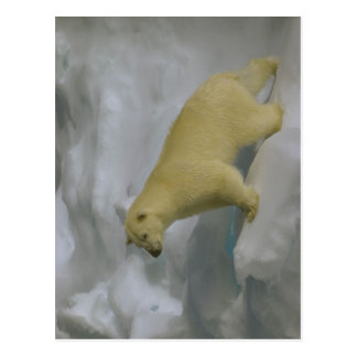 Description Ursus maritimus on sea ice close to Sv Post Cards