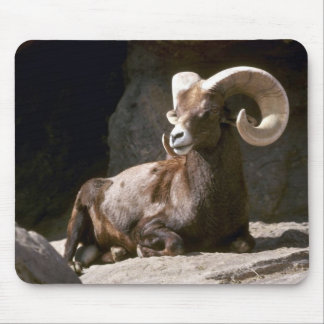 Desert bighorn sheep (Adult ram bedded down in sun Mouse Pad