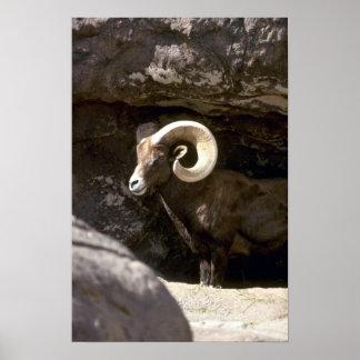 Desert bighorn sheep (Adult ram) Posters