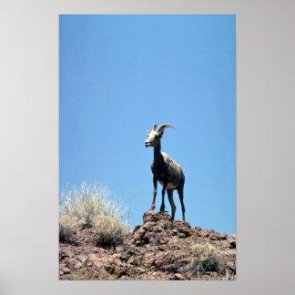 Desert bighorn sheep (Ewe) Print