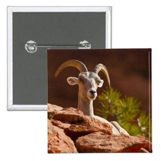 Desert Bighorn sheep (Ovis canadensis nelsoni). Button