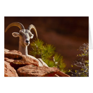 Desert Bighorn sheep (Ovis canadensis nelsoni). Cards