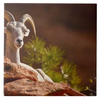 Desert Bighorn sheep (Ovis canadensis nelsoni). Ceramic Tile