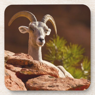 Desert Bighorn sheep (Ovis canadensis nelsoni). Coasters