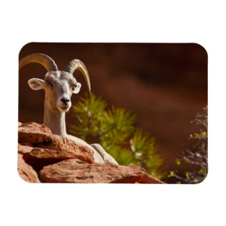 Desert Bighorn sheep (Ovis canadensis nelsoni). Magnet