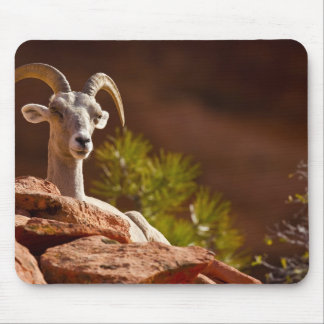 Desert Bighorn sheep (Ovis canadensis nelsoni). Mouse Pad