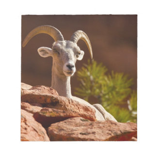 Desert Bighorn sheep (Ovis canadensis nelsoni). Notepad