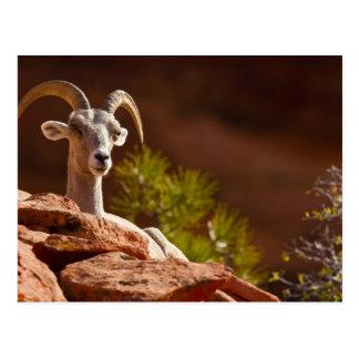 Desert Bighorn sheep (Ovis canadensis nelsoni). Postcard
