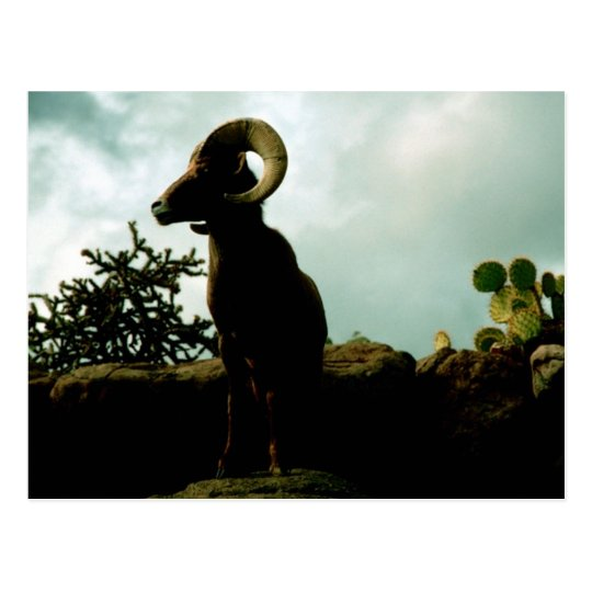 Desert Bighorn Sheep Postcard