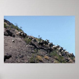 Desert bighorn sheep (Small herd) Print