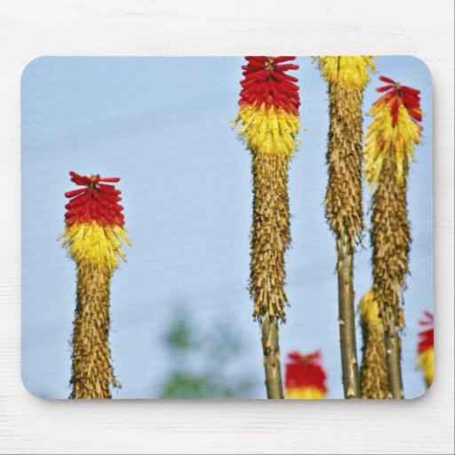 Desert bloom, outside Phoenix, Arizona, U.S.A.  fl Mouse Pad