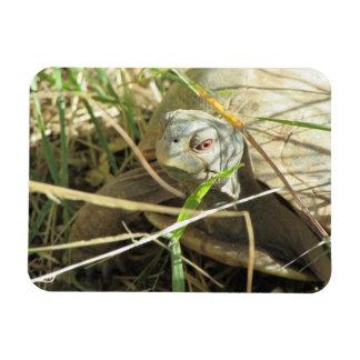 Desert Box Turtle Close-up Magnet