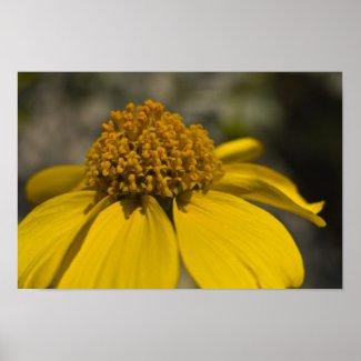 Desert Brittlebrush Blossom Poster