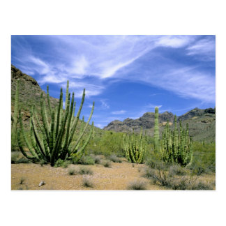 Desert cactus at Organ Pipe National Monument, Postcard