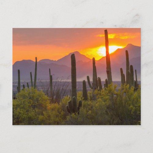 Desert cactus sunset Arizona Postcard