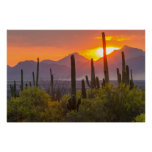 Desert cactus sunset, Arizona Poster