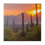 "Desert cactus sunset, Arizona Tile<br><div class=""desc"">USA,  Arizona,  Saguaro National Park. Sunset on desert landscape.    Jaynes Gallery / DanitaDelimont.com</div>"