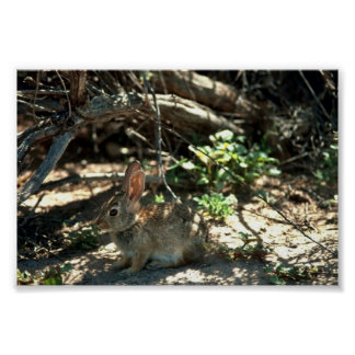 Desert Cottontail Posters
