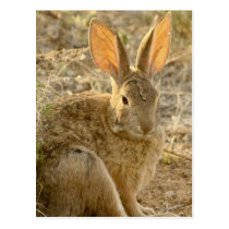 Desert Cottontail Rabbit Postcard
