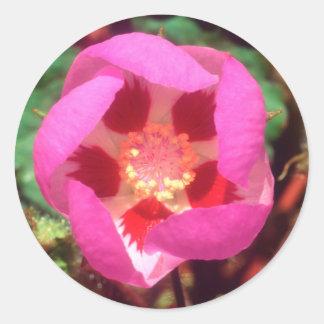 Desert Five Spot Wildflower Classic Round Sticker