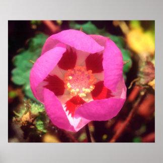 Desert Five Spot Wildflower Poster