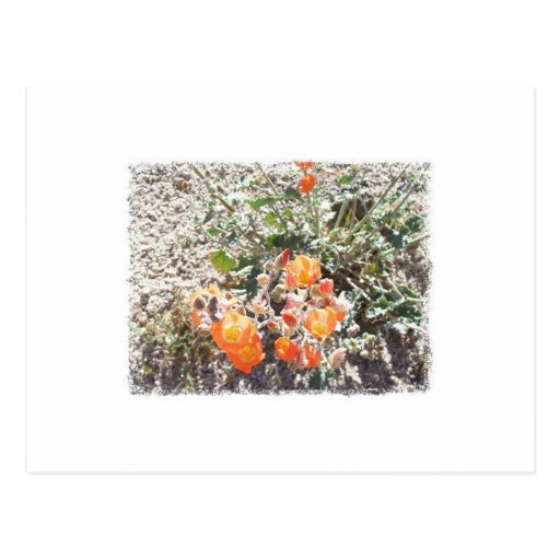 Desert Globemallow Postcards