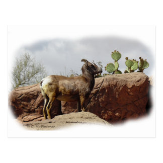 Desert Mountain Sheep Postcard