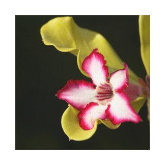 Desert-Rose (Adenium Obesum), South Africa Gallery Wrapped Canvas