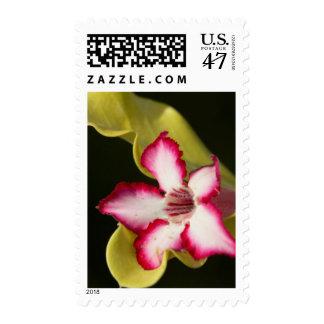 Desert-Rose (Adenium Obesum), South Africa Postage