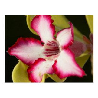 Desert-Rose (Adenium Obesum), South Africa Postcard