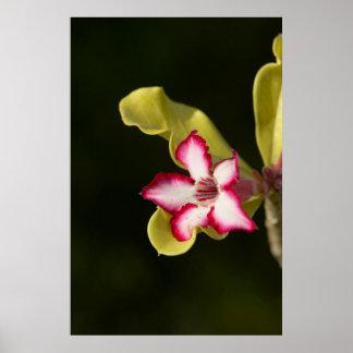 Desert-Rose (Adenium Obesum), South Africa Posters