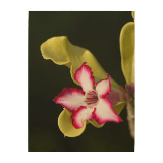 Desert-Rose (Adenium Obesum), South Africa Wood Canvases