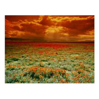 Desert sunset on a field of California poppies, U. Postcard