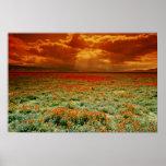 Desert sunset on a field of California poppies, U. Poster