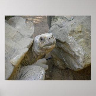Desert Tortoise Close-Up Poster