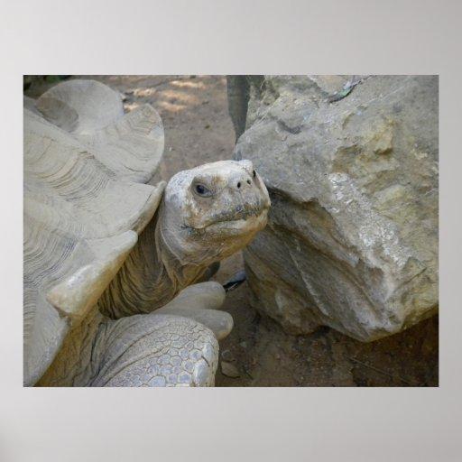 Desert Tortoise Close-Up Posters
