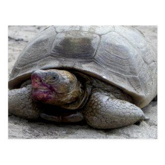 Desert Tortoise Post Cards