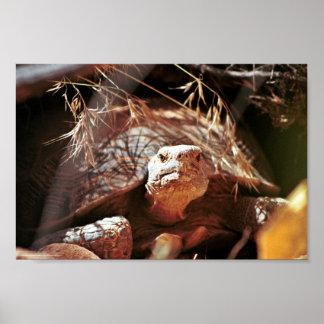 Desert Tortoise Poster