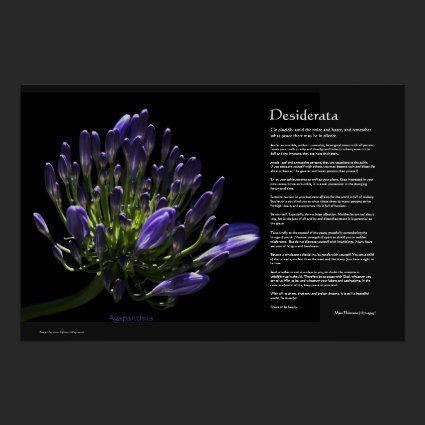Desiderata - Agapanthus, African Lily Print