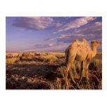 Desierto de Asia, Mongolia, Gobi, gran Gobi Tarjetas Postales