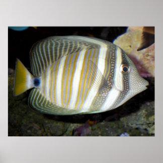 Desjardin's sailfin tang (Zebrasoma desjardinii) Poster