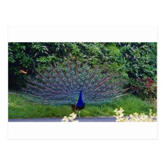 Destino colorido del indio del arte del pavo real  postales