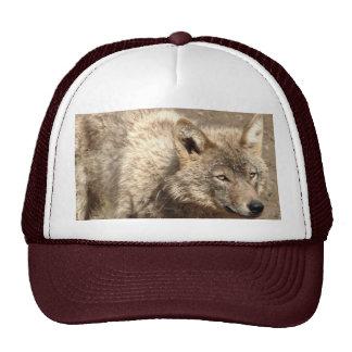 Destino de los lobos del parque de naturaleza del gorras