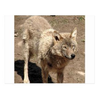Destino de los lobos del parque de naturaleza del tarjetas postales
