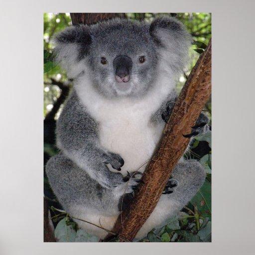 Destino lindo Zazzle Aussi de la koala interior Póster