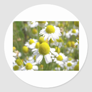 Detail Chamomile Flowers Meadow Classic Round Sticker
